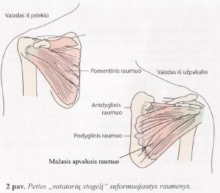 raumenys skauda sąnarius