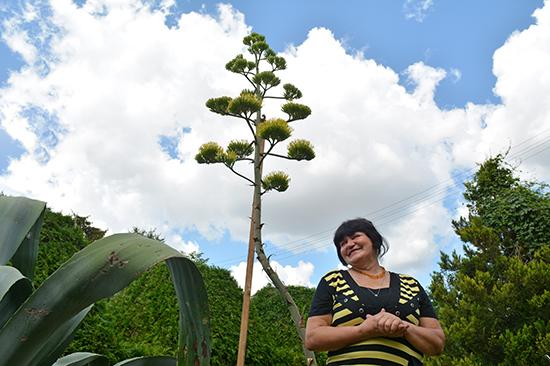 agava gydyti sąnarių