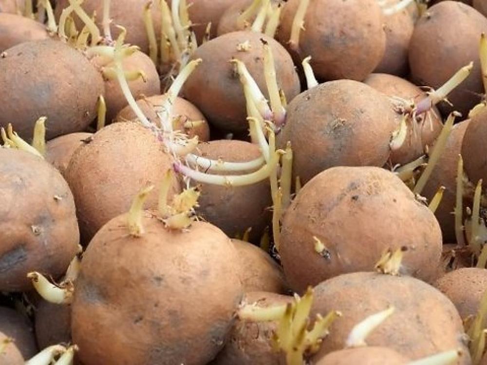 priemonė sąnarių iš bulvių daigais